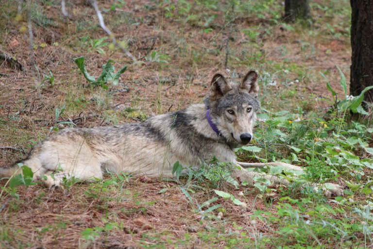 Gray wolf spotted in Monterey County