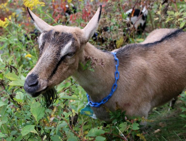 Goats return to help with wildfire prevention in Monterey County